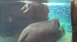 Mama hippo and baby hippo swimming