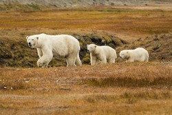 Polar bears near Kaktovik, Alaska