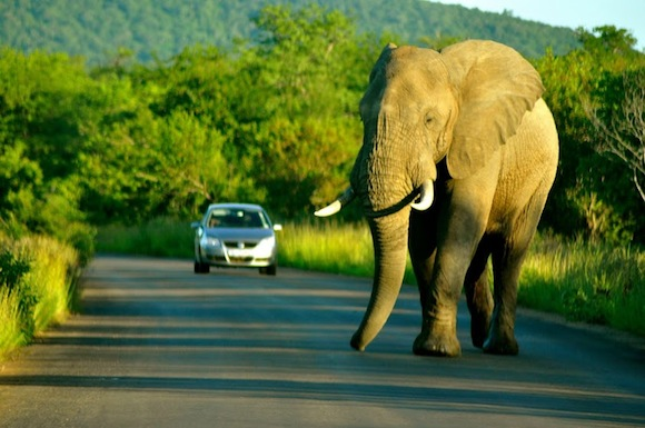 A bull elephant inside Kruger National Park