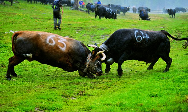 cow fighting