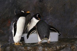 St Louis zoo hotel penguins